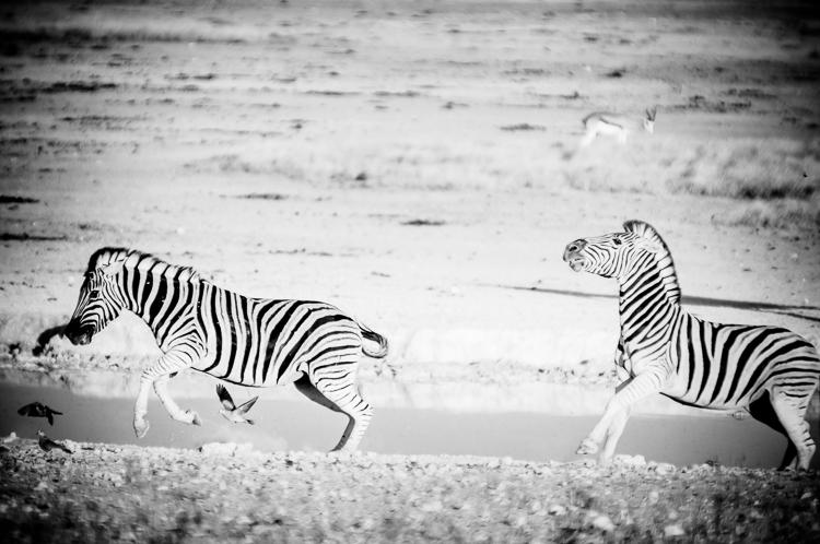 zebra-chase