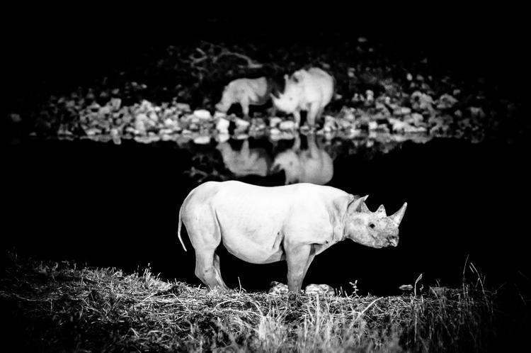Black rhino at the Okaukuejo waterhole
