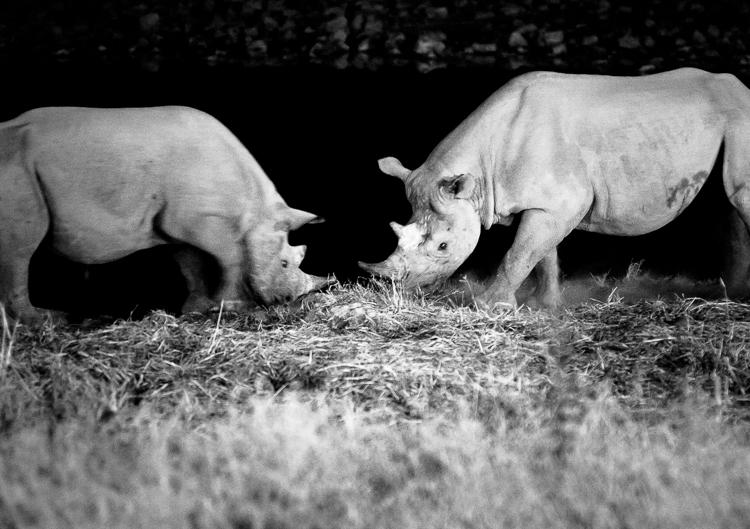 """Fighting"" black rhinos."