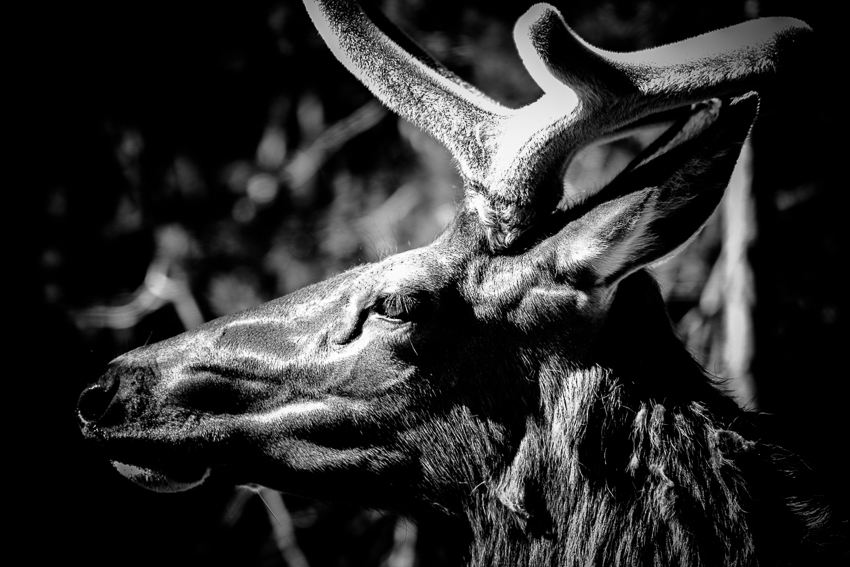 Elk in black and white