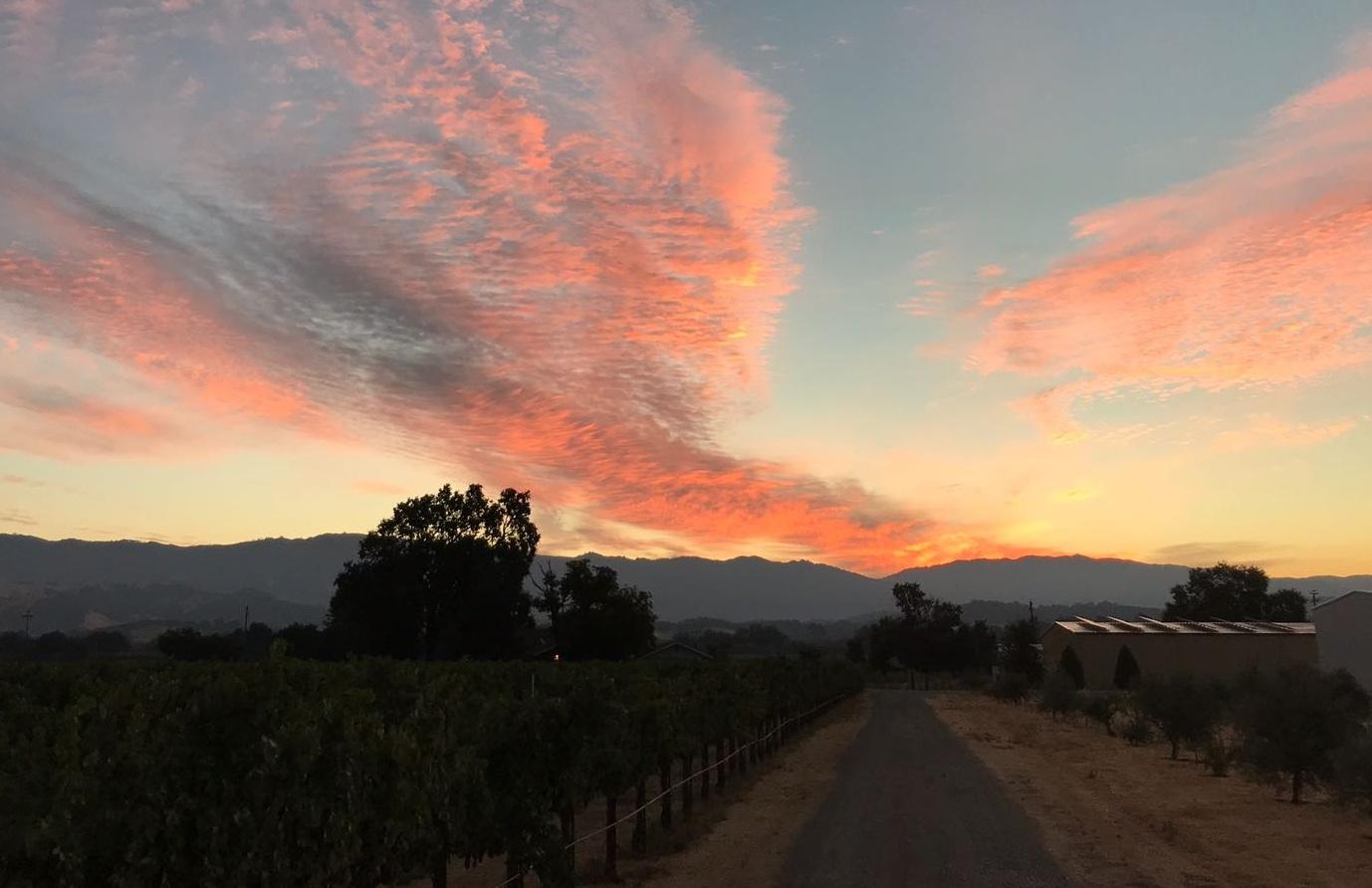 Vineyard sunset scene