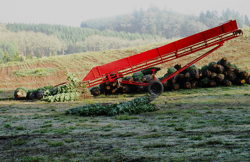 The plantation at Pollard Ranch can support your wholesale Christmas tree needs.