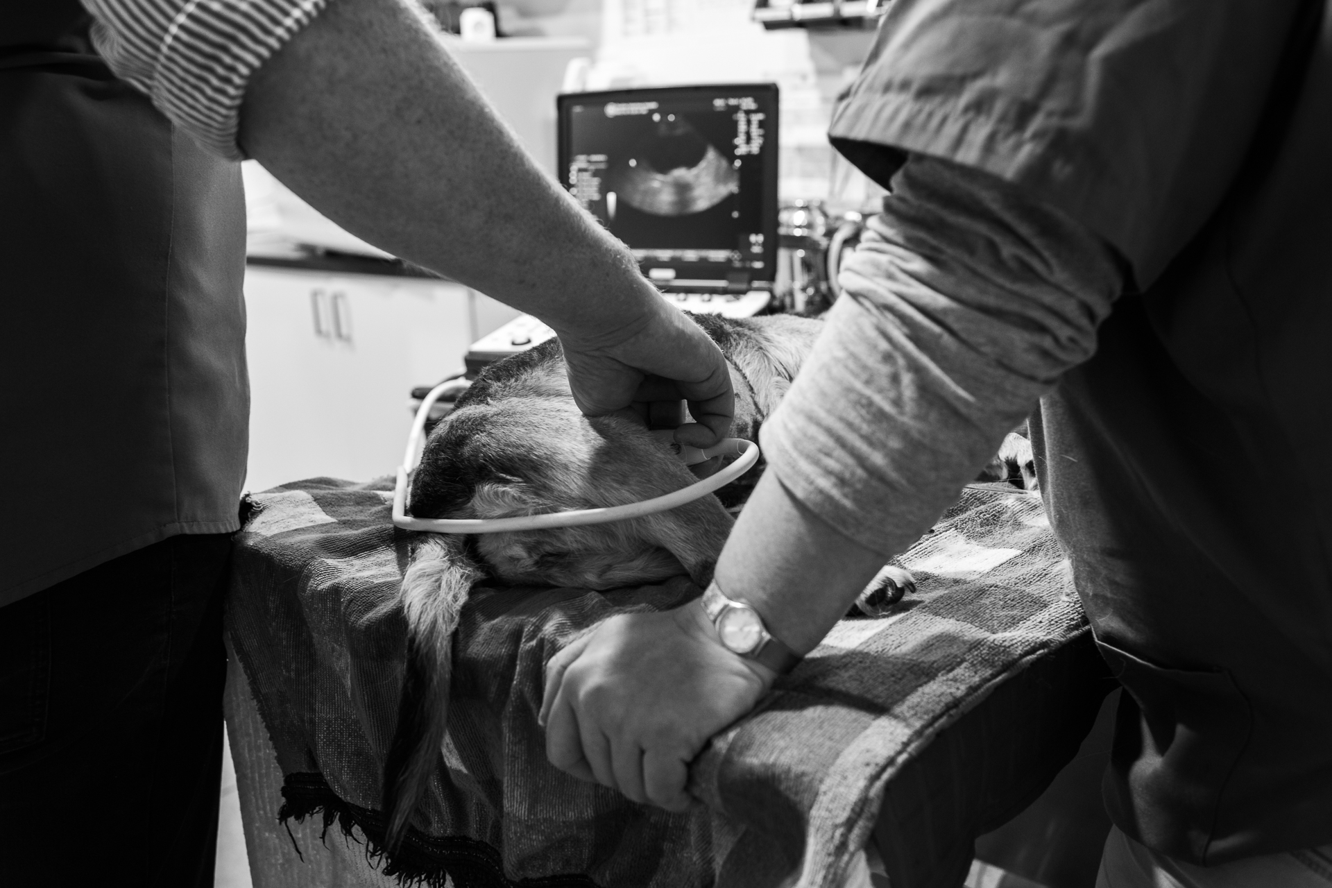 Ultrasound showed that this very sick dog's liver was tumorous. The only option was euthanasia and it had to be done as quickly as the dog's owner could get back to the practice.  6 July, 2018.