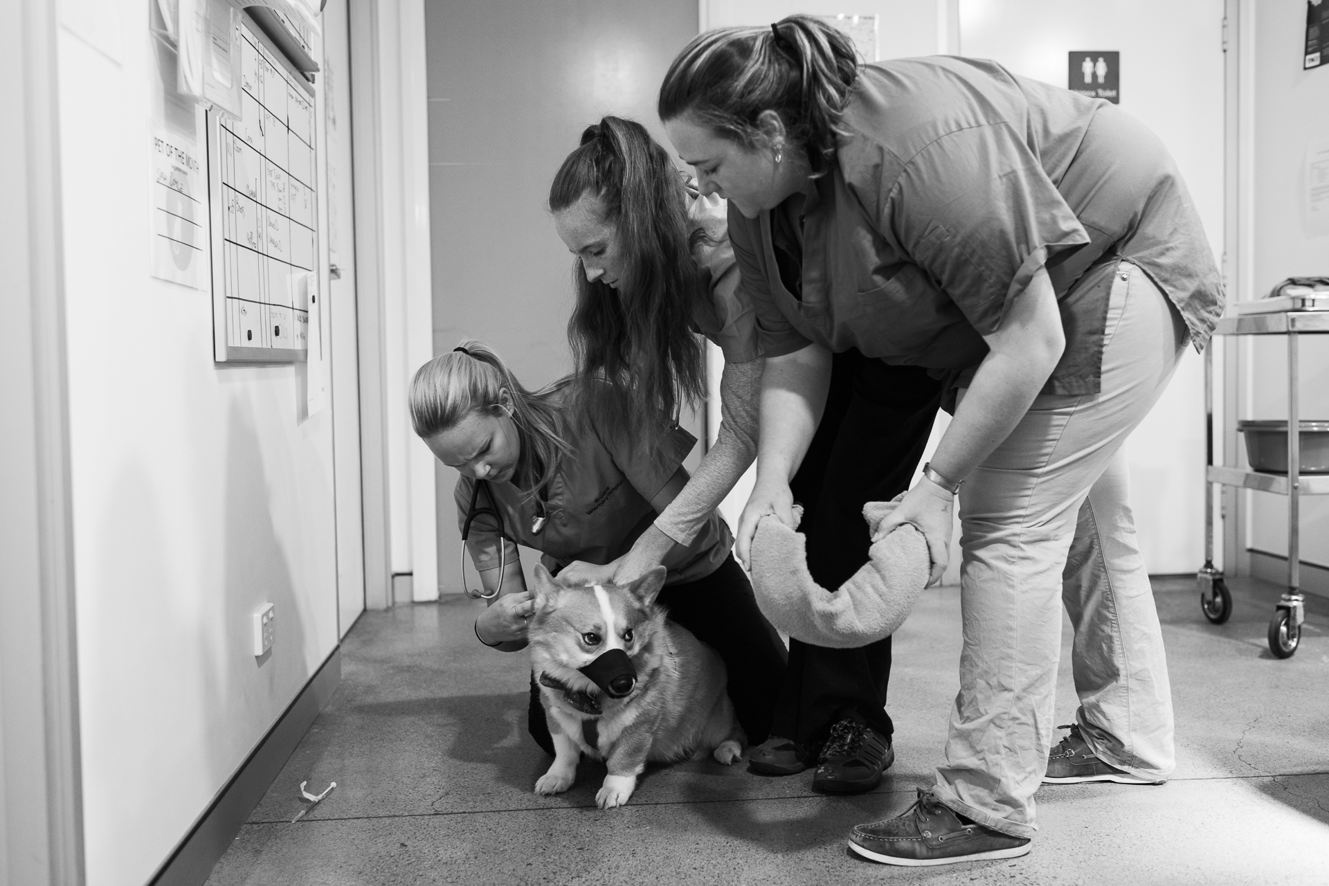Head Nurse Stephanie Robertson ( left ), Nurse Chelsea Rose ( middle ) and Dr Grace Butler try to sedate Zac. Knowing Zac can be uncomfortable in these situations means they can protect themselves and Zac using a muzzle and a towel.  9 March, 2018.