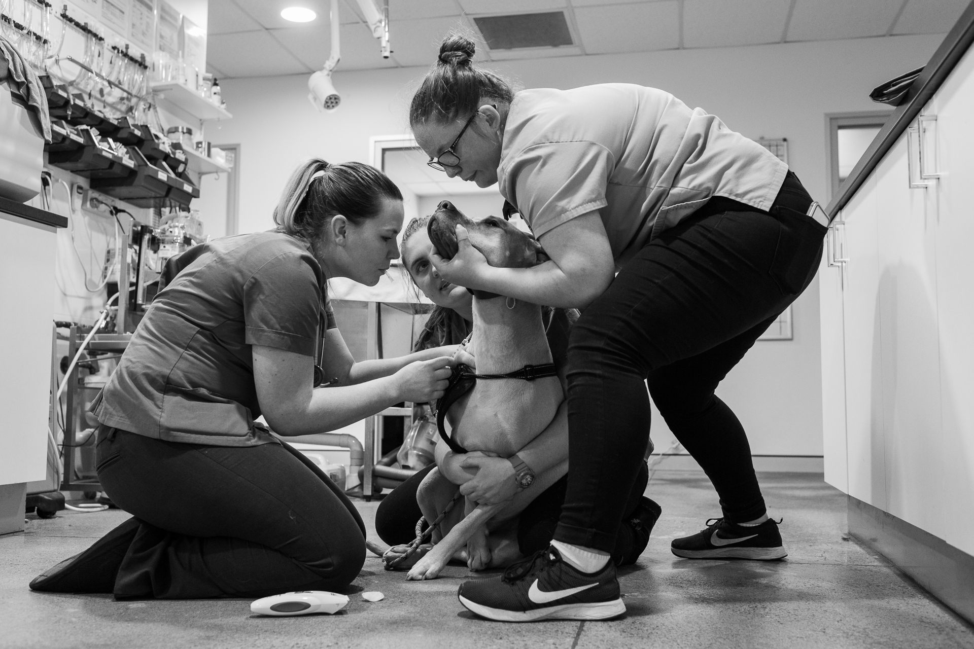 Firmly, gently. Trainee Nurse Claire Goodlock ( middle ) holds Peanut around the chest. Nurse Kelsey Savage ( right ) restrains his head while blowing on it tries to distract him by blowing on his head, Dr Jessica Winsall attempts to draw blood. It's all about trying to safely extract blood from a fidgety animal.  9 February, 2018.