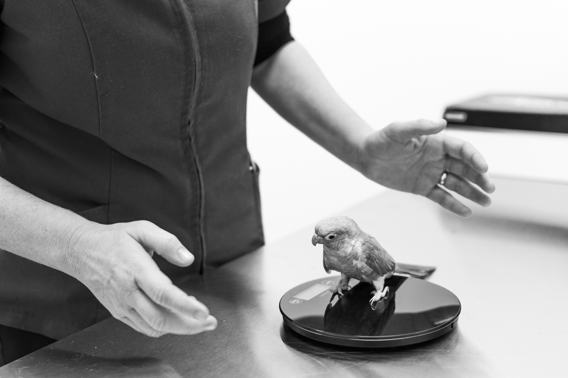 Weighing a Conure ... best done quickly!  23 February, 2018.