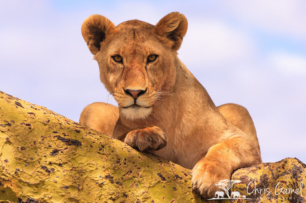 Perched lioness