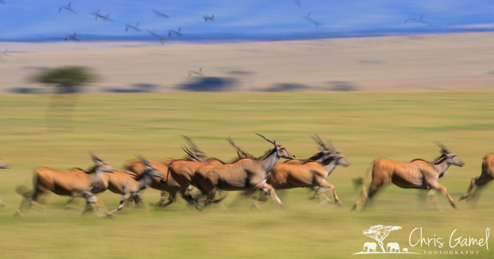 Eland on the move