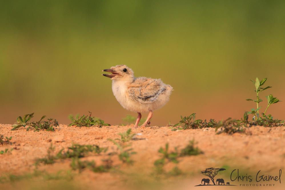 Skimmer chick