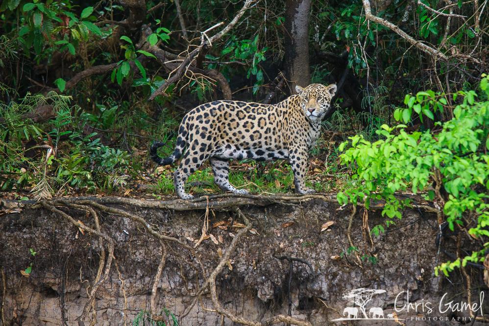 Jaguar on the shoreline