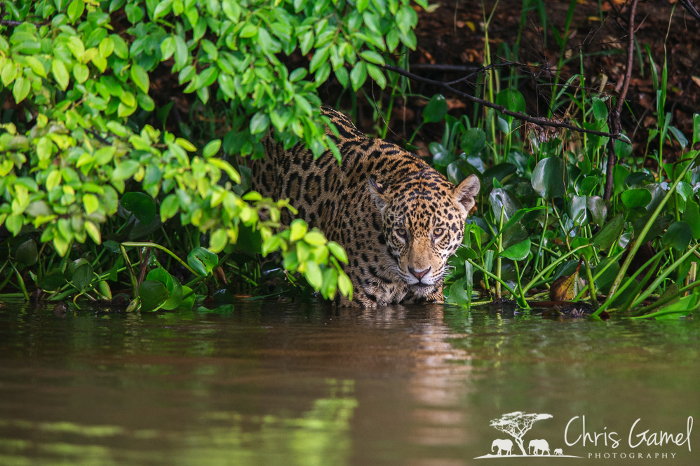 Jaguar entering the river