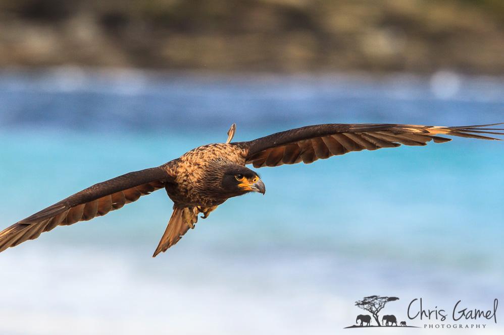 Striated Caracara in flight