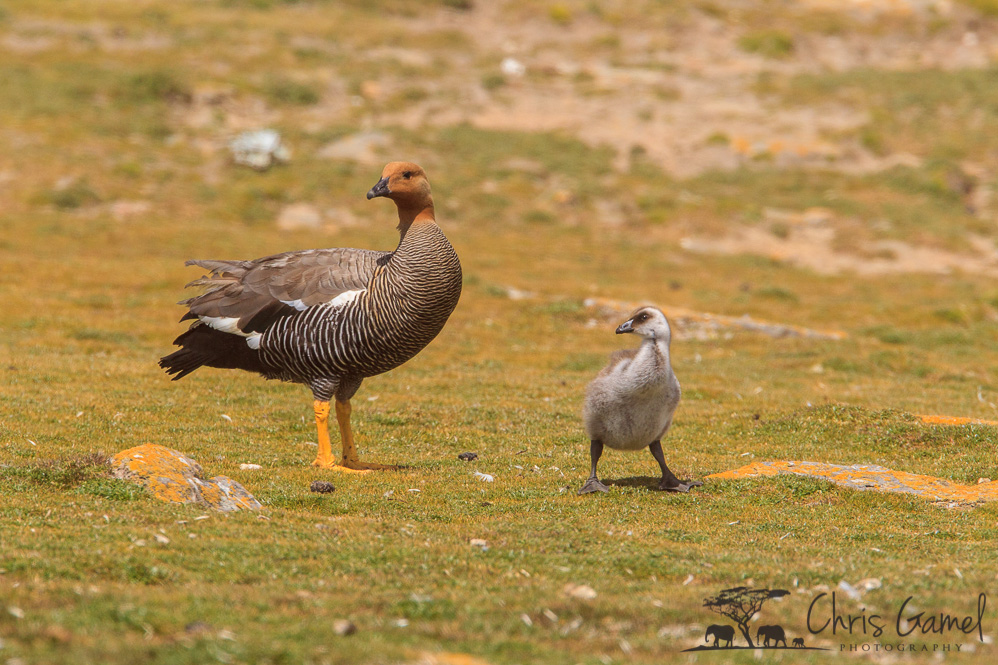Upland Goose with Chick