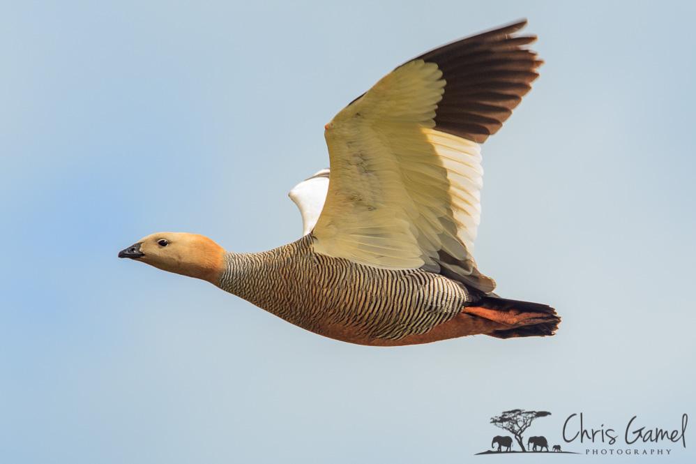 Ruddy-Headed Goose in Flight