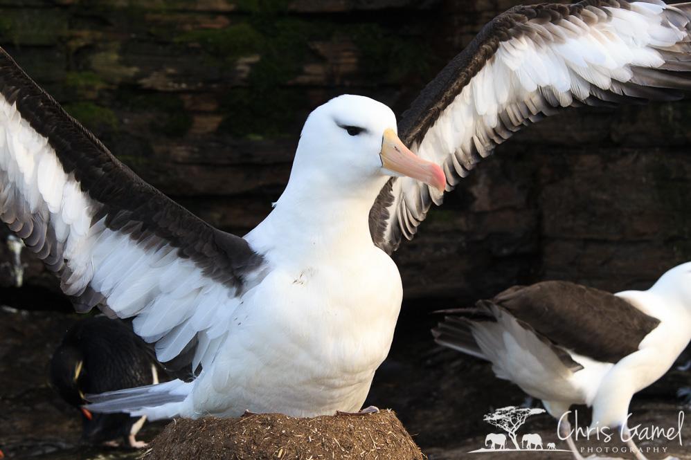 Albatross on the Nest