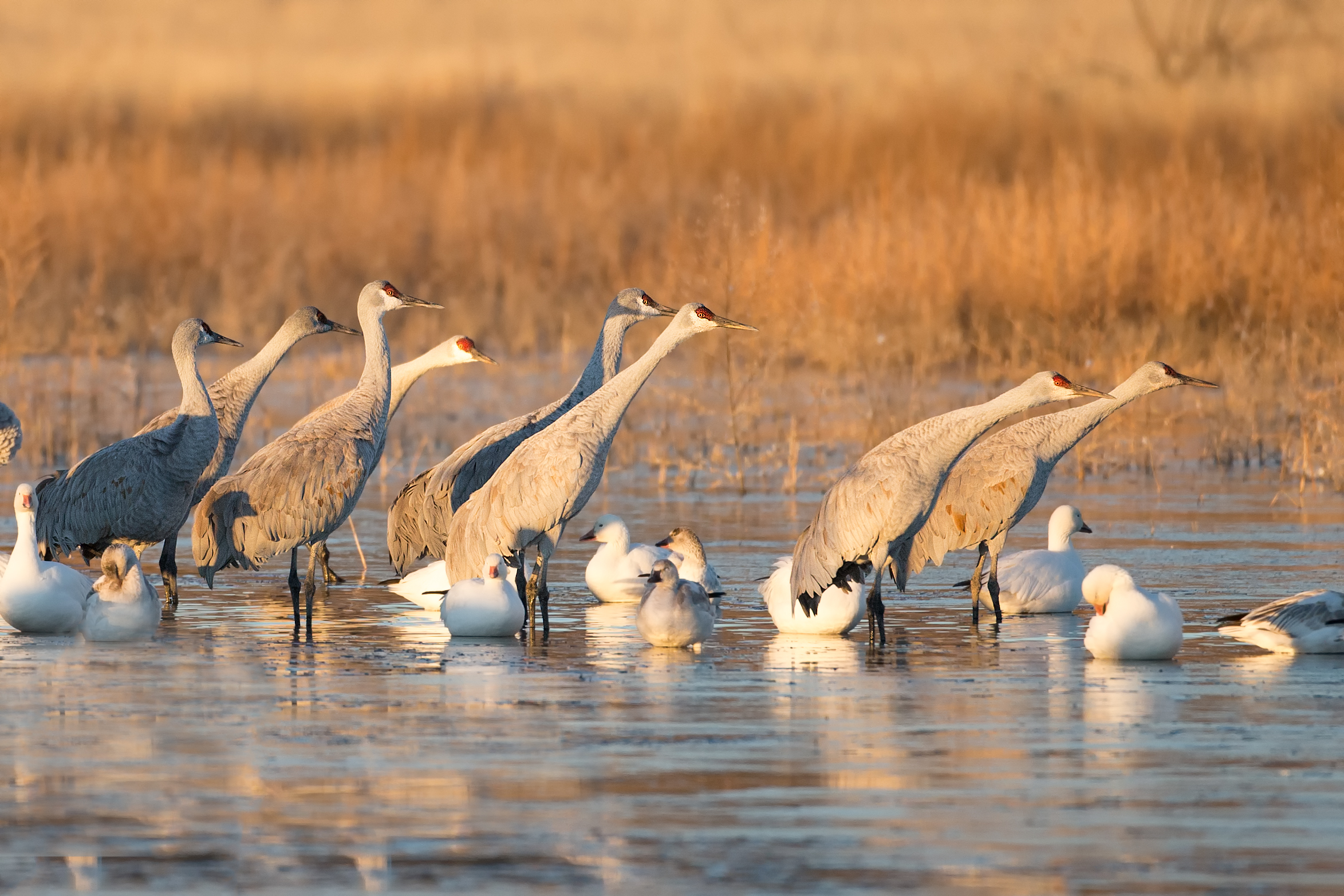 Sandhill cranes prepare for takeoff at the Bosque del Apache.