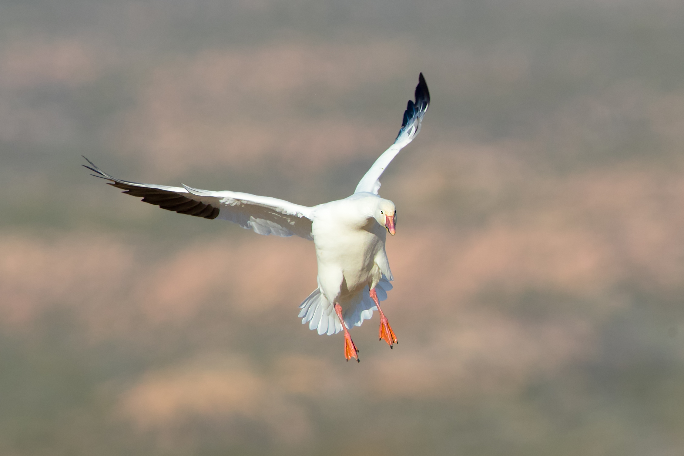 A Snow goose lands in a cornfield.