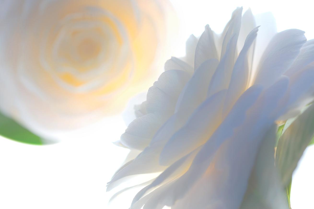Translucent Camellia   No.  B5130.1.4HDR2