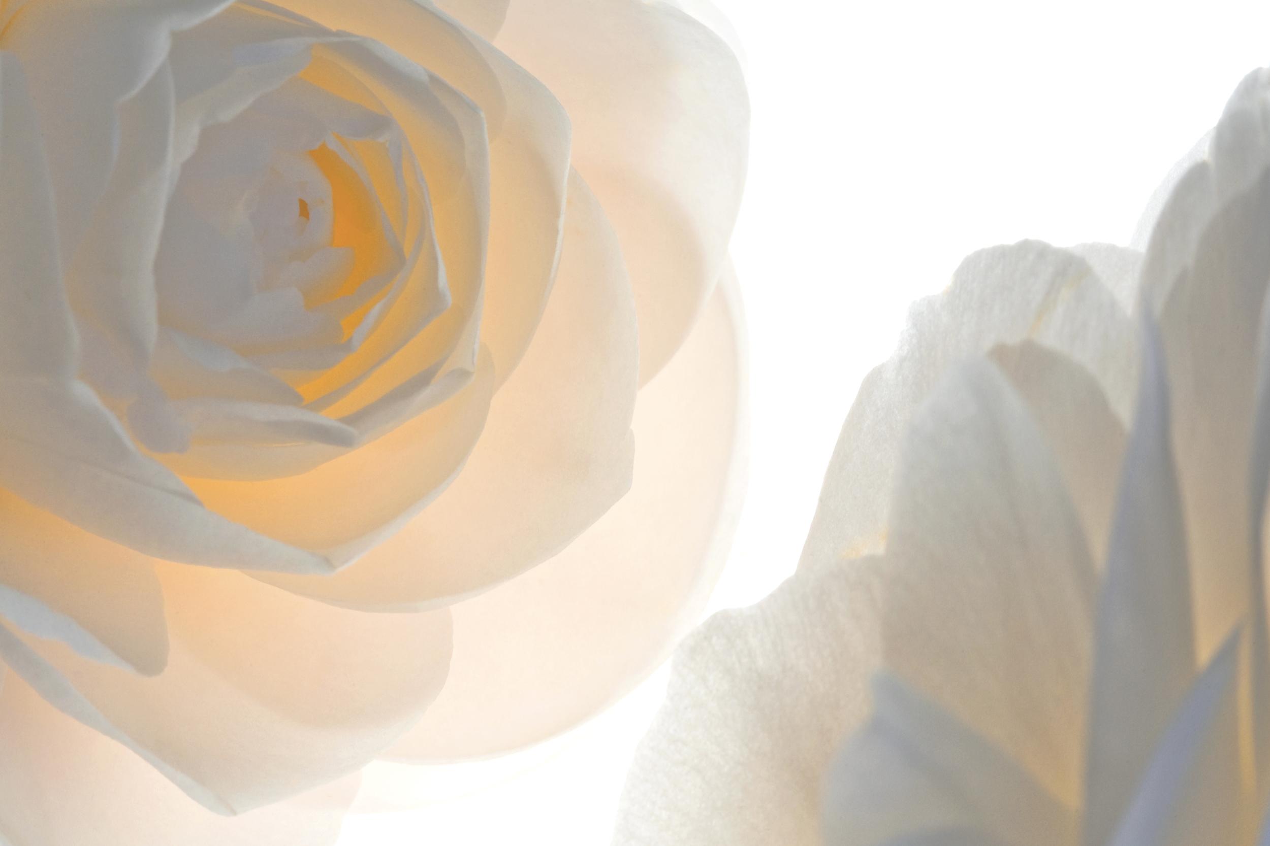 Translucent Peach Camellia   No.  B5154