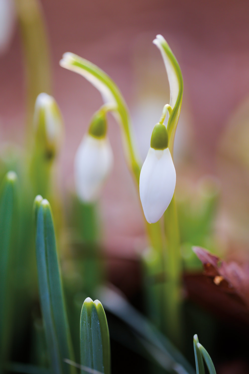 Snow Drop, Davis, West Virginia