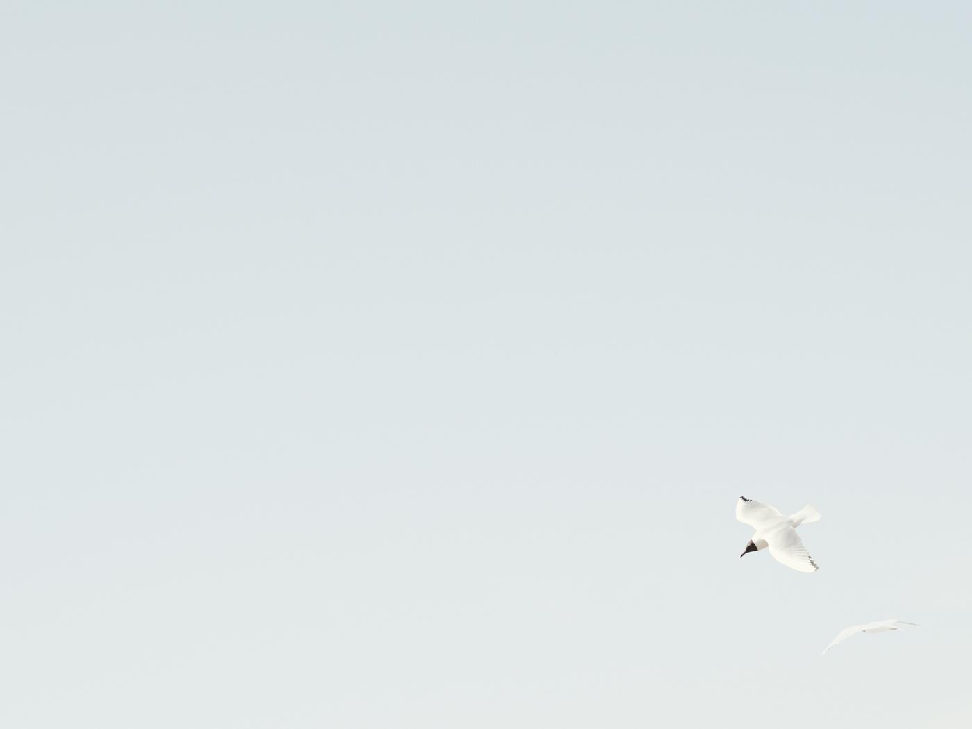 Gulls over Old Hunstanton