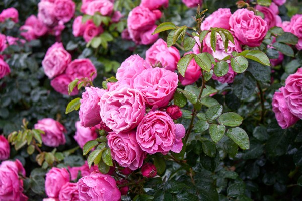 PP-Rose-Garden-Bright-Pink-Cupped-Double-600x400.jpg