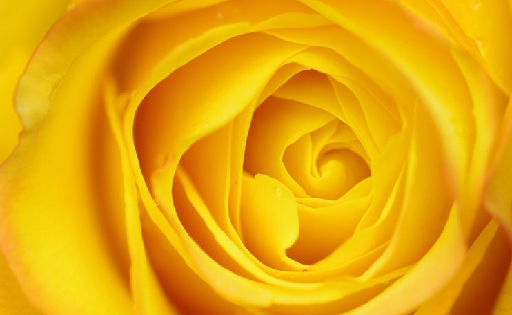 yellow-roses-the-color-of-sunshine (1).jpg