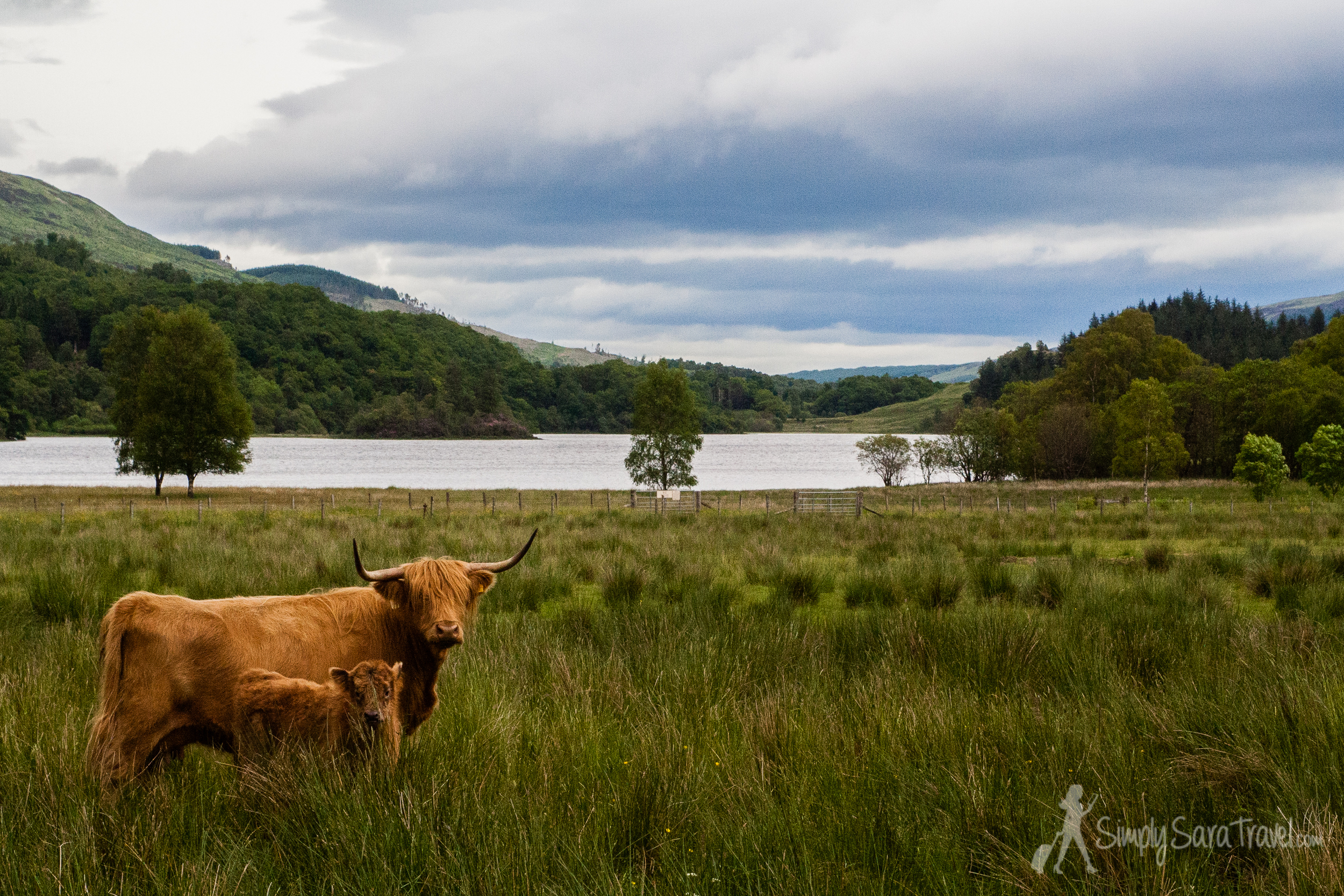 My favorite part of the Highlands in Scotland was getting to see some hairy coos on the  Hairy Coo  day tour. (June 2013)