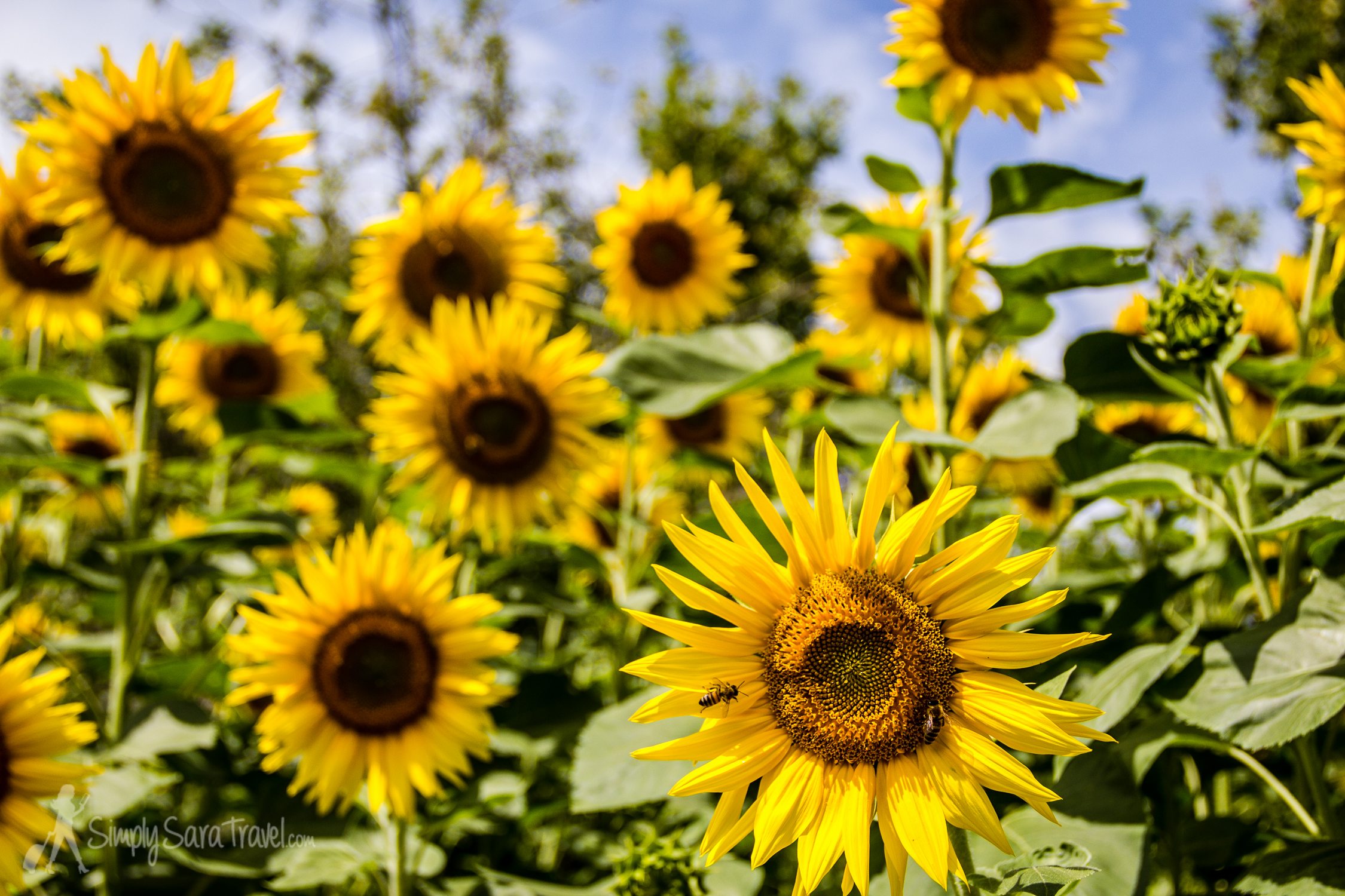 Sunflowers aren't just for Provence anymore