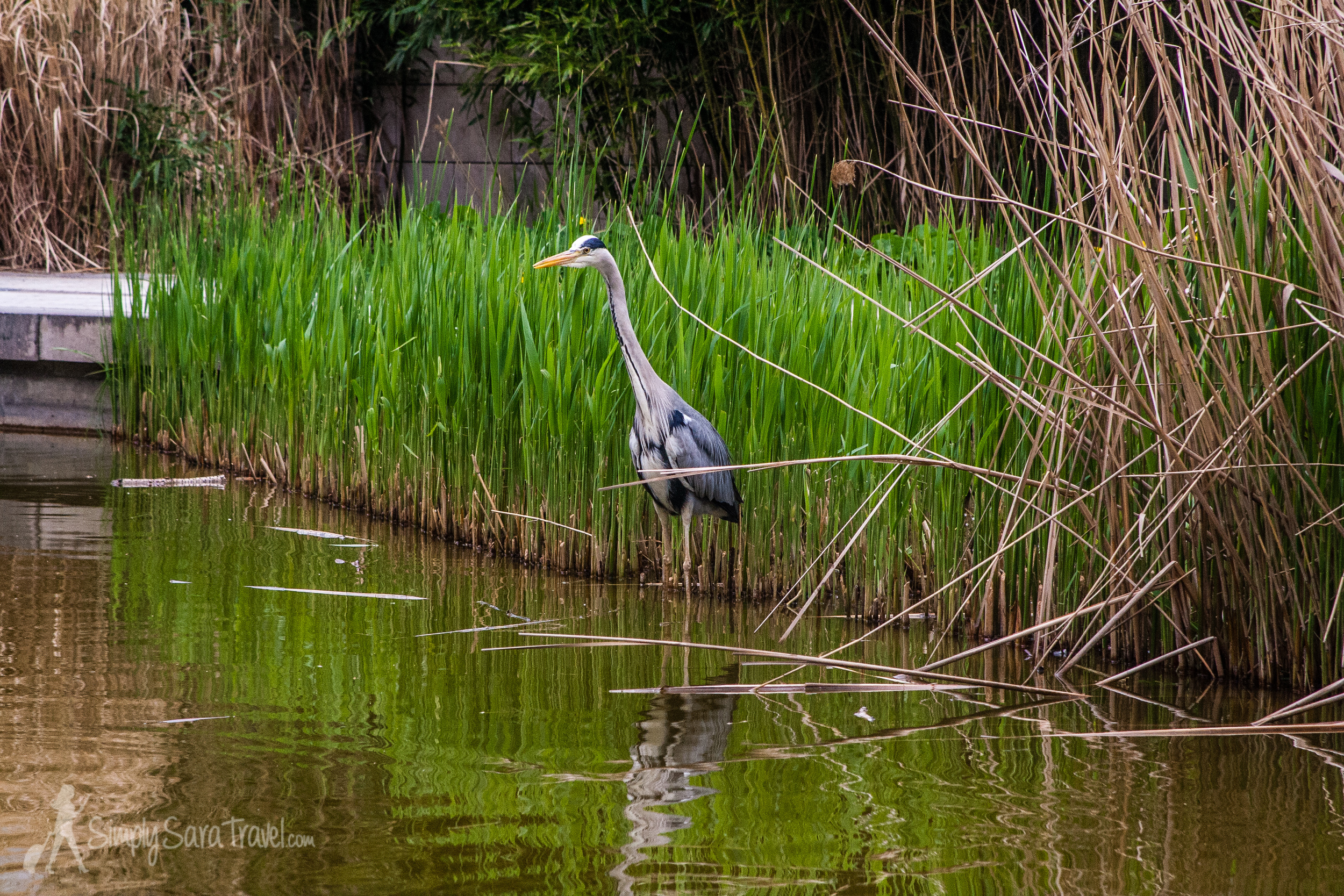 Heron at the lake in Parc de Bercy