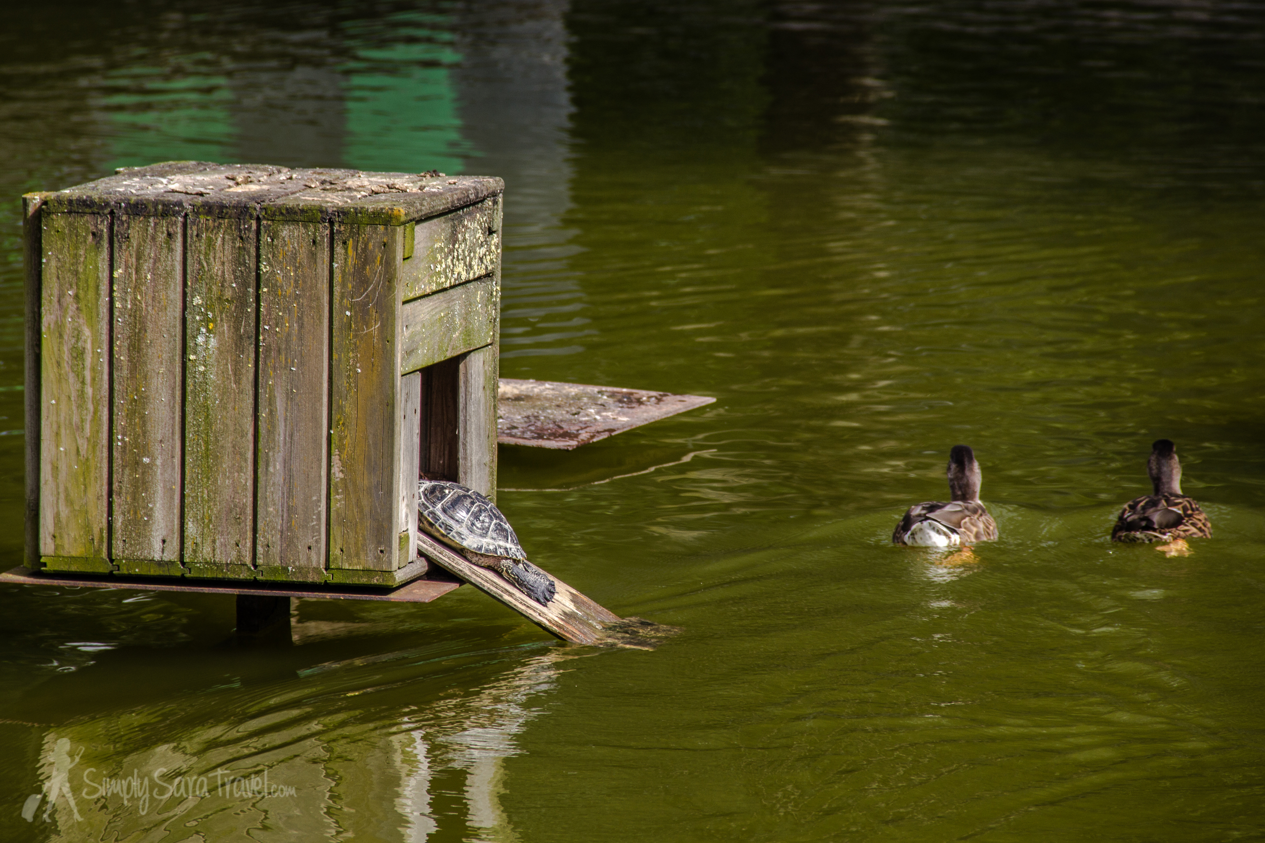 The lake is home to ducks, birds, and cute turtles among other creatures!