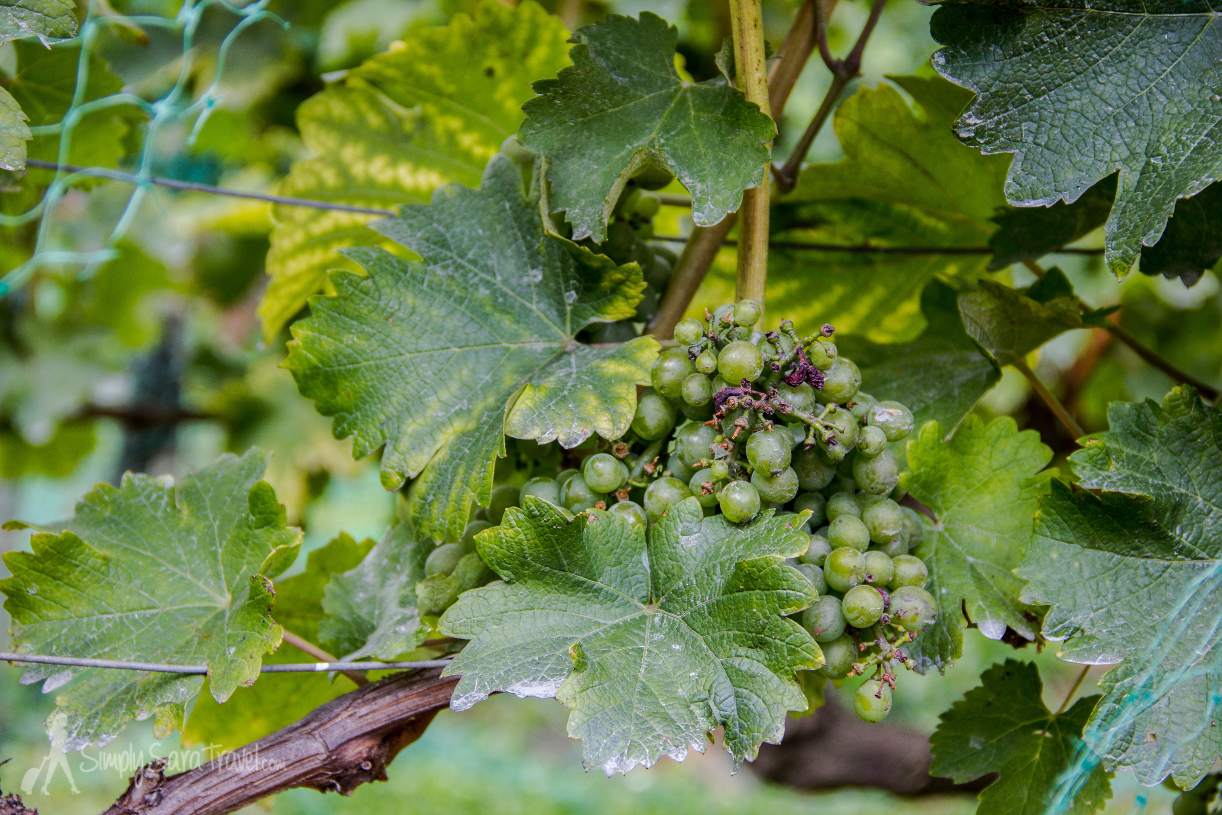 The grapes in Parc de Bercy's vineyard were looking pretty ripe late August!