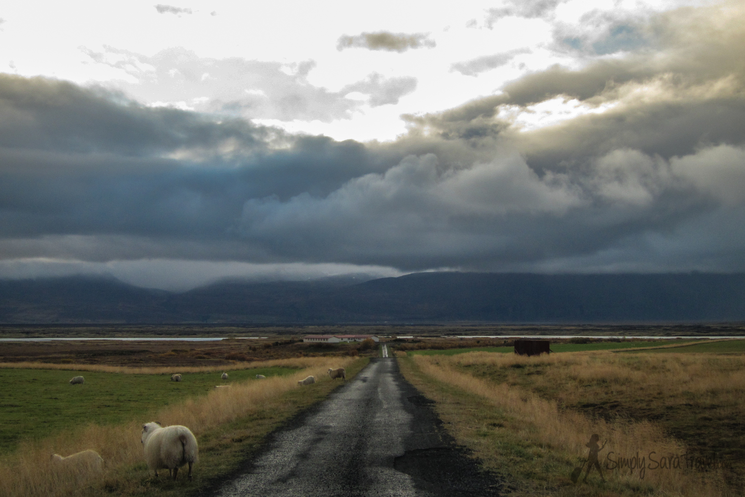 Be careful of spontaneous sheep crossings in Iceland!