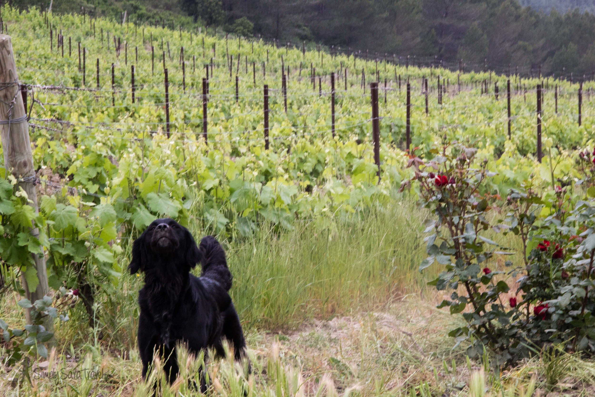 Though Carol does most of the work at her vineyard herself, there are of course a few more helping hands - and paws - with this friendly guy watching over daily operations.