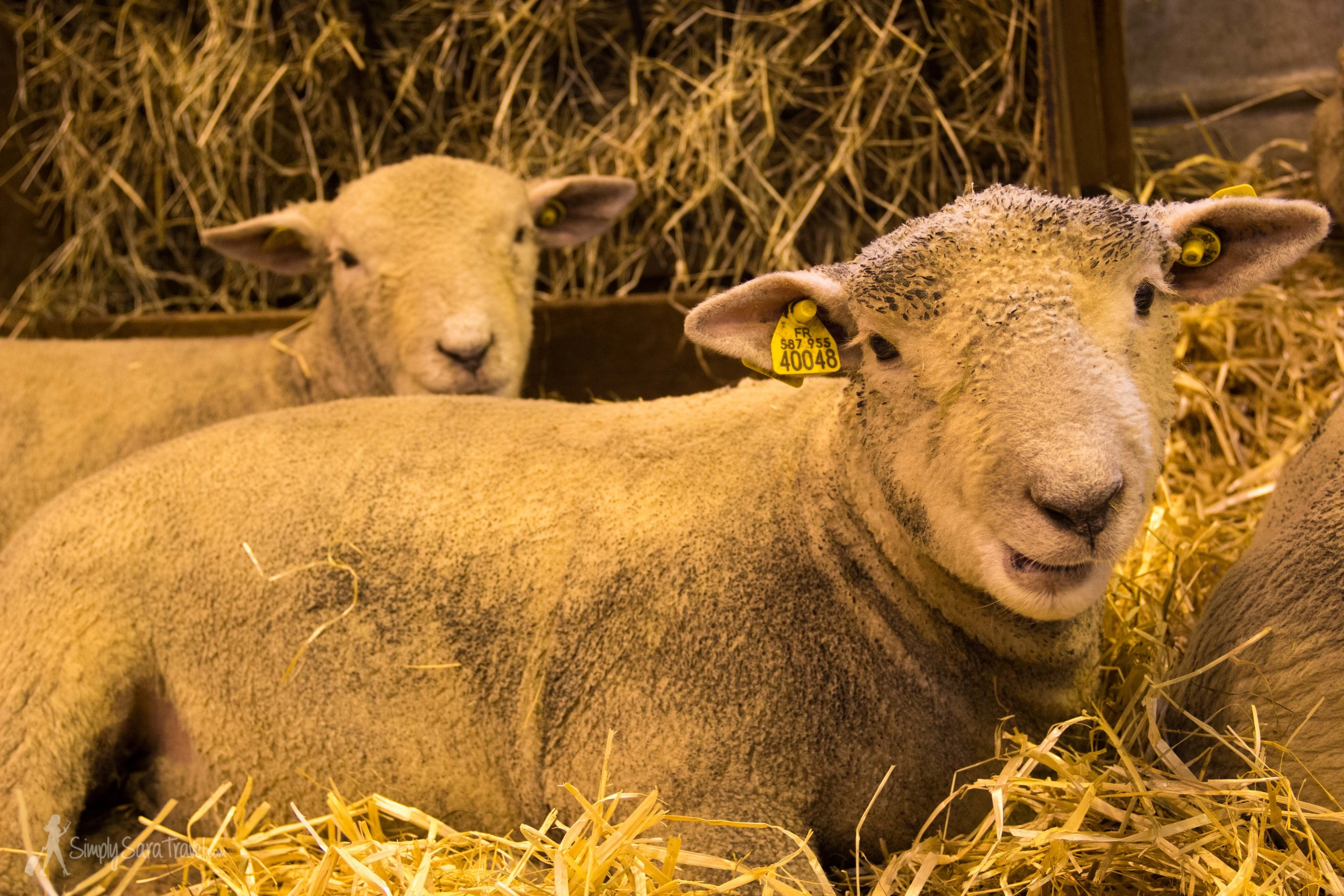 Two sheep Salon International de l'Agriculture (International Agricultural Show) Paris France