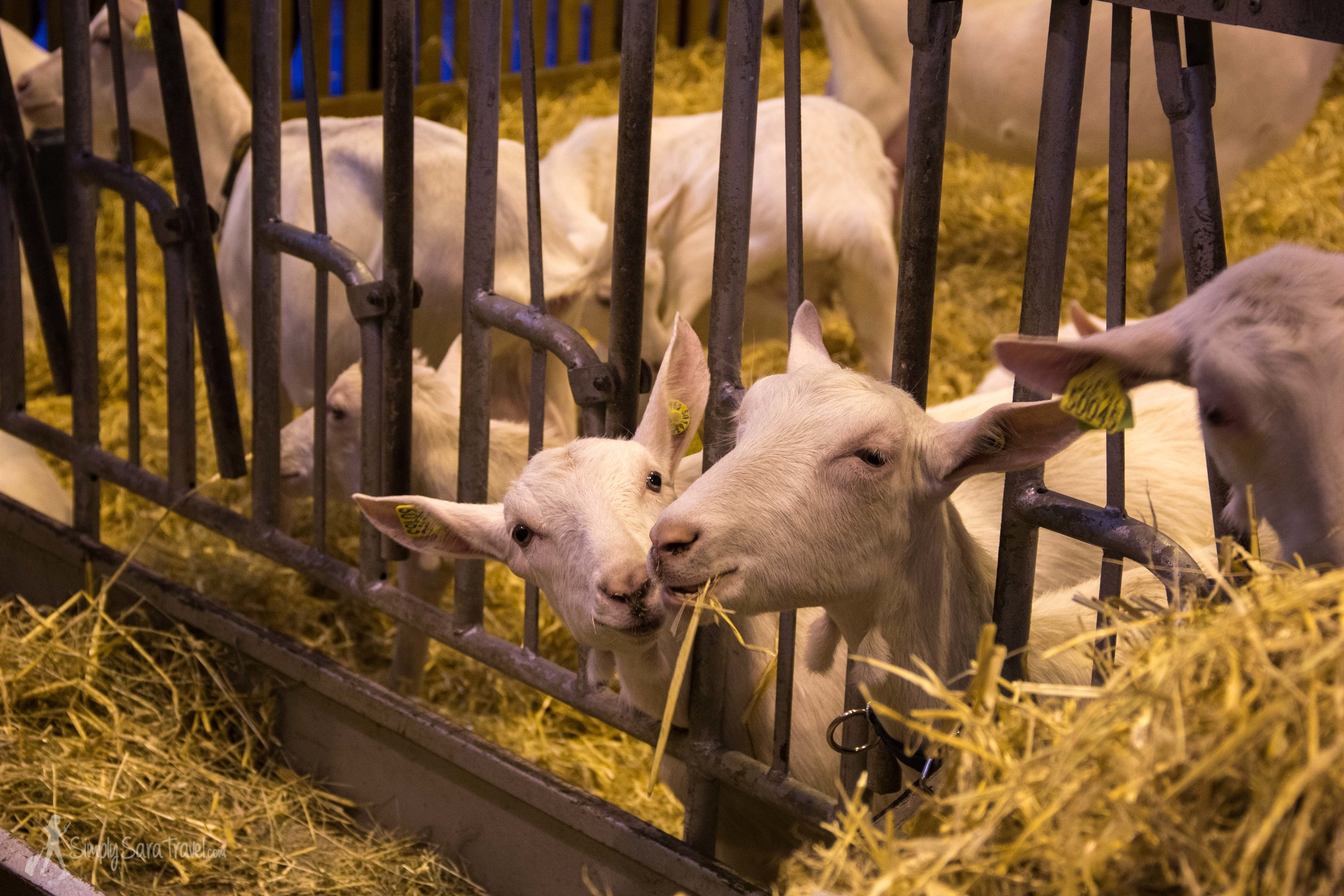 Goats eating at Salon International de l'Agriculture (International Agricultural Show) Paris France Porte de Versailles