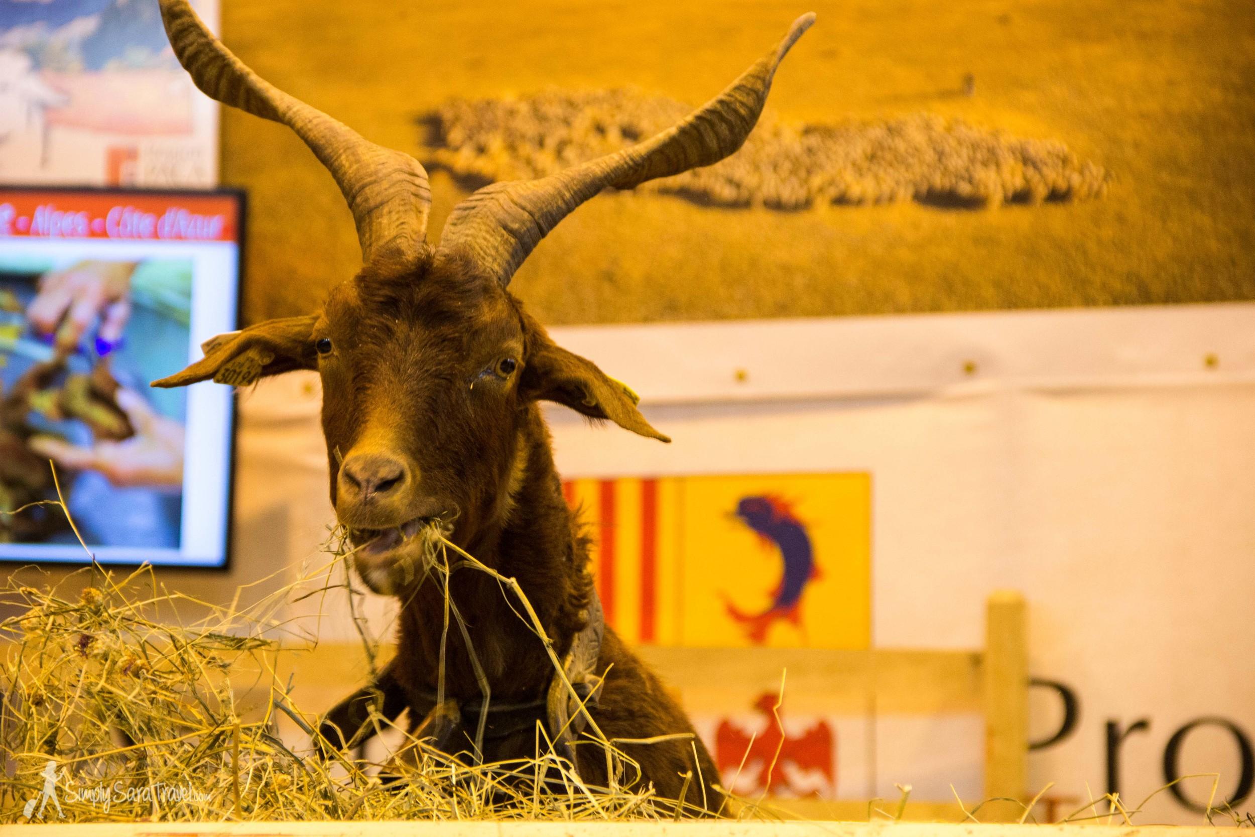 Goat eating hay,Salon International de l'Agriculture (International Agricultural Show) Paris France