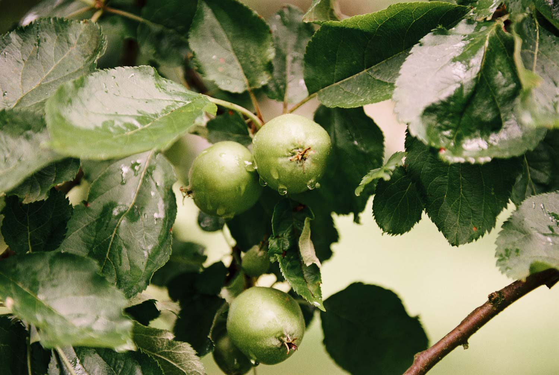 Birnenbaum Siemen