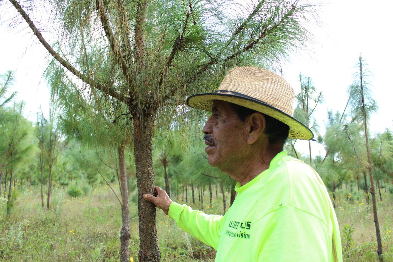 En Michoacán todo el cultivo de pino es de temporal, depende de la frecuencia y abundancia de las lluvias.