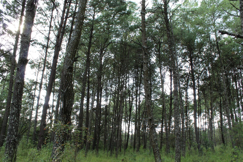 Algunos de los pinos de la región de Sicuicho tienen más de tres décadas de antigüedad.