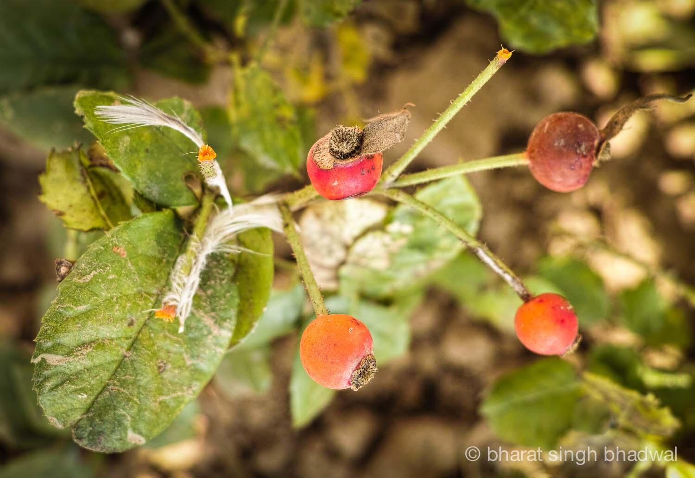 Rose hips grow wild in the Indian Himalayas