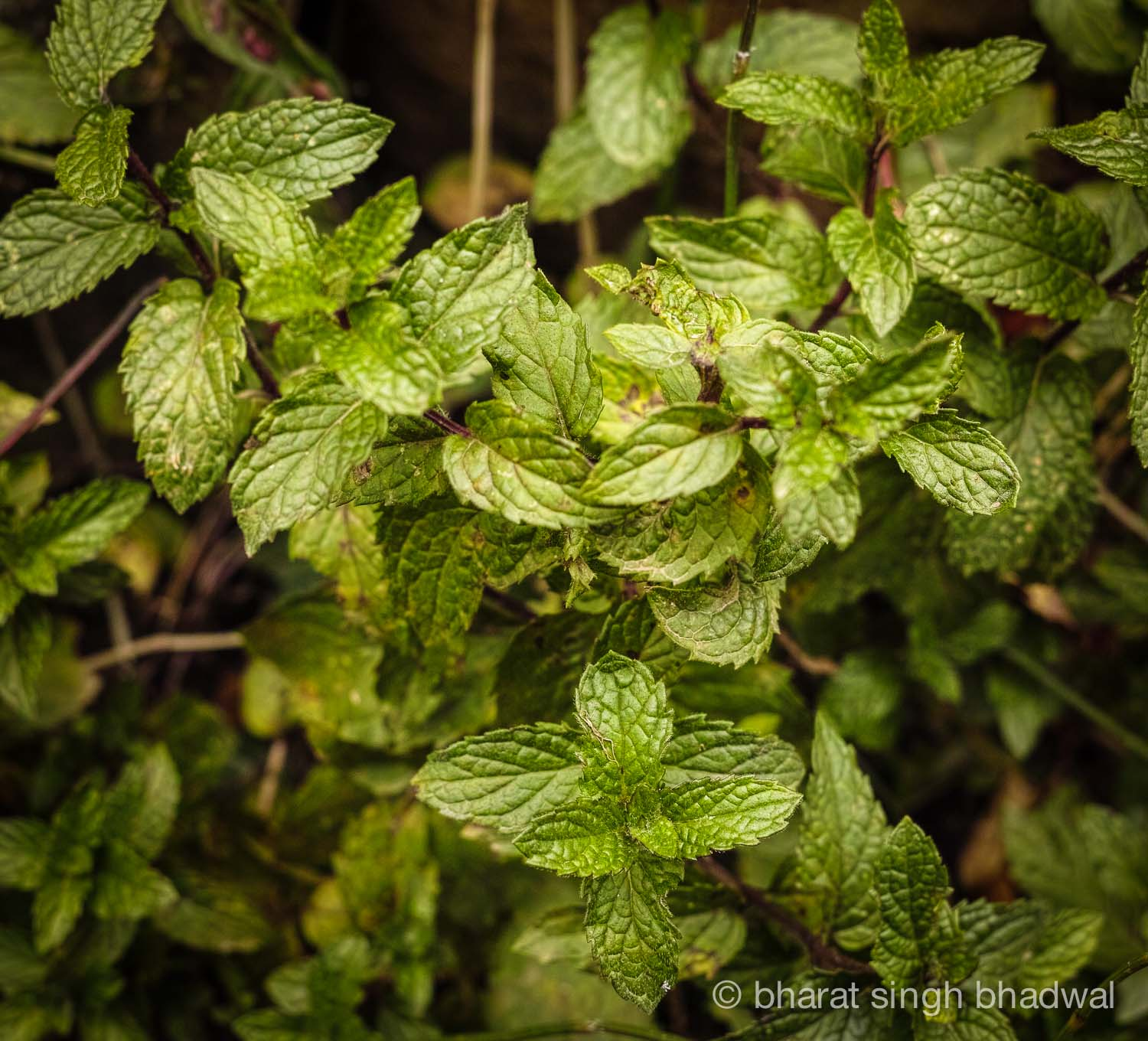 Mint grows wild in the Indian Himalayas as well