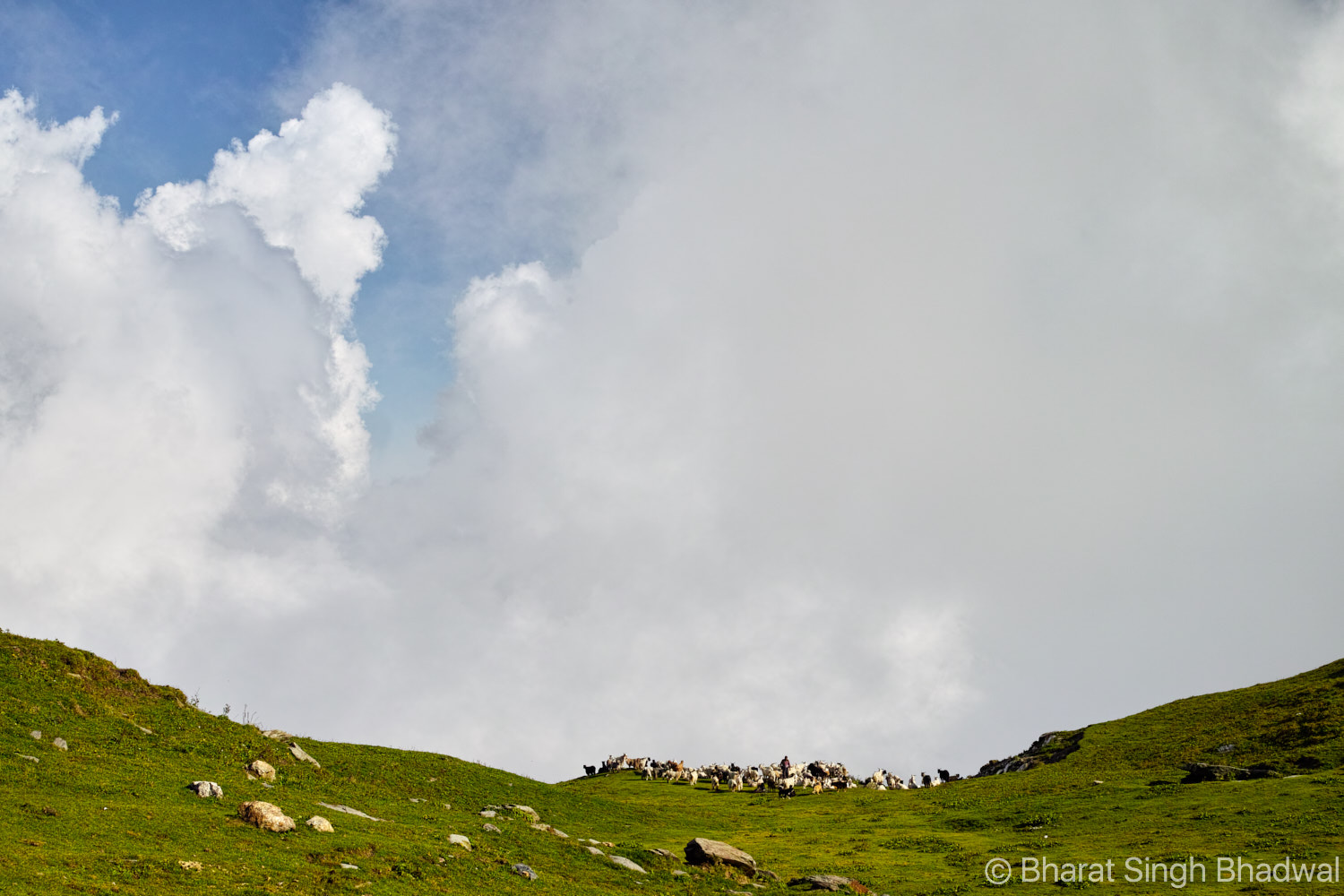 A flock of sheep and goat at Jalsu Pass