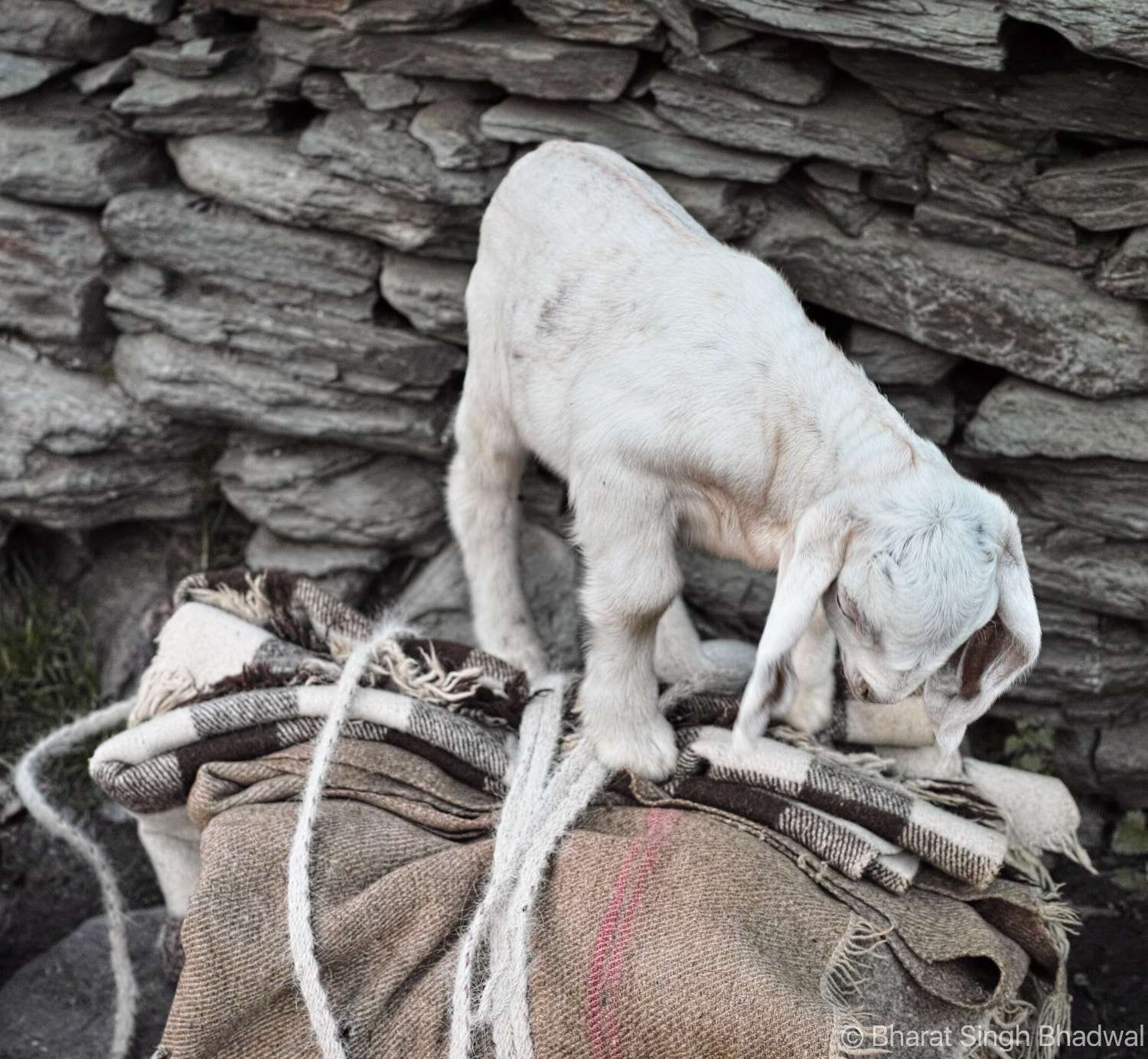 A gaddi backpack. The goat kid rides on top of the backpack.