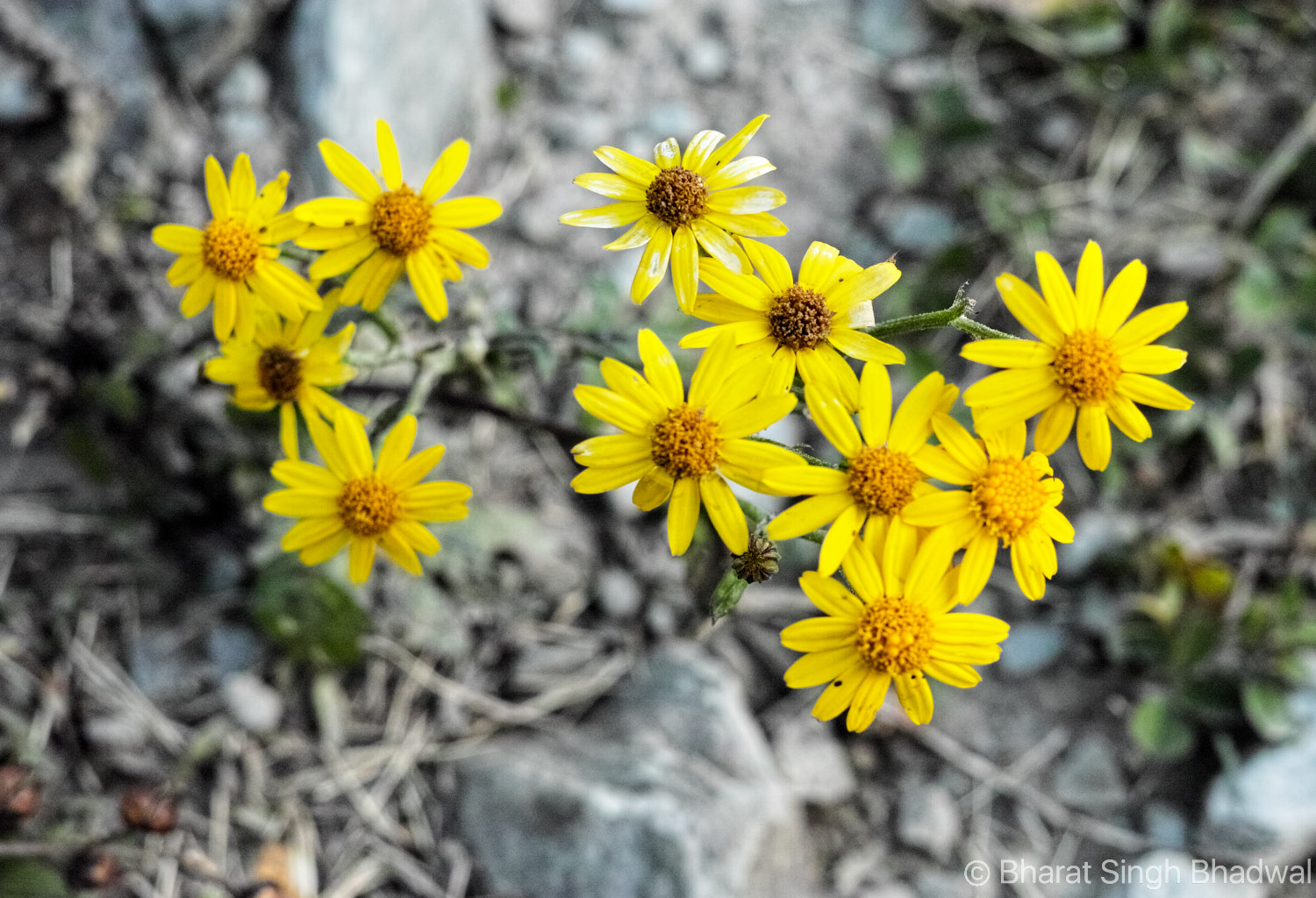 Jalsu Pass trail is often referred to as the Himachal's flower valley. I counted at least sixteen different types of flowers on this trail. A floriculturist's dream come true.