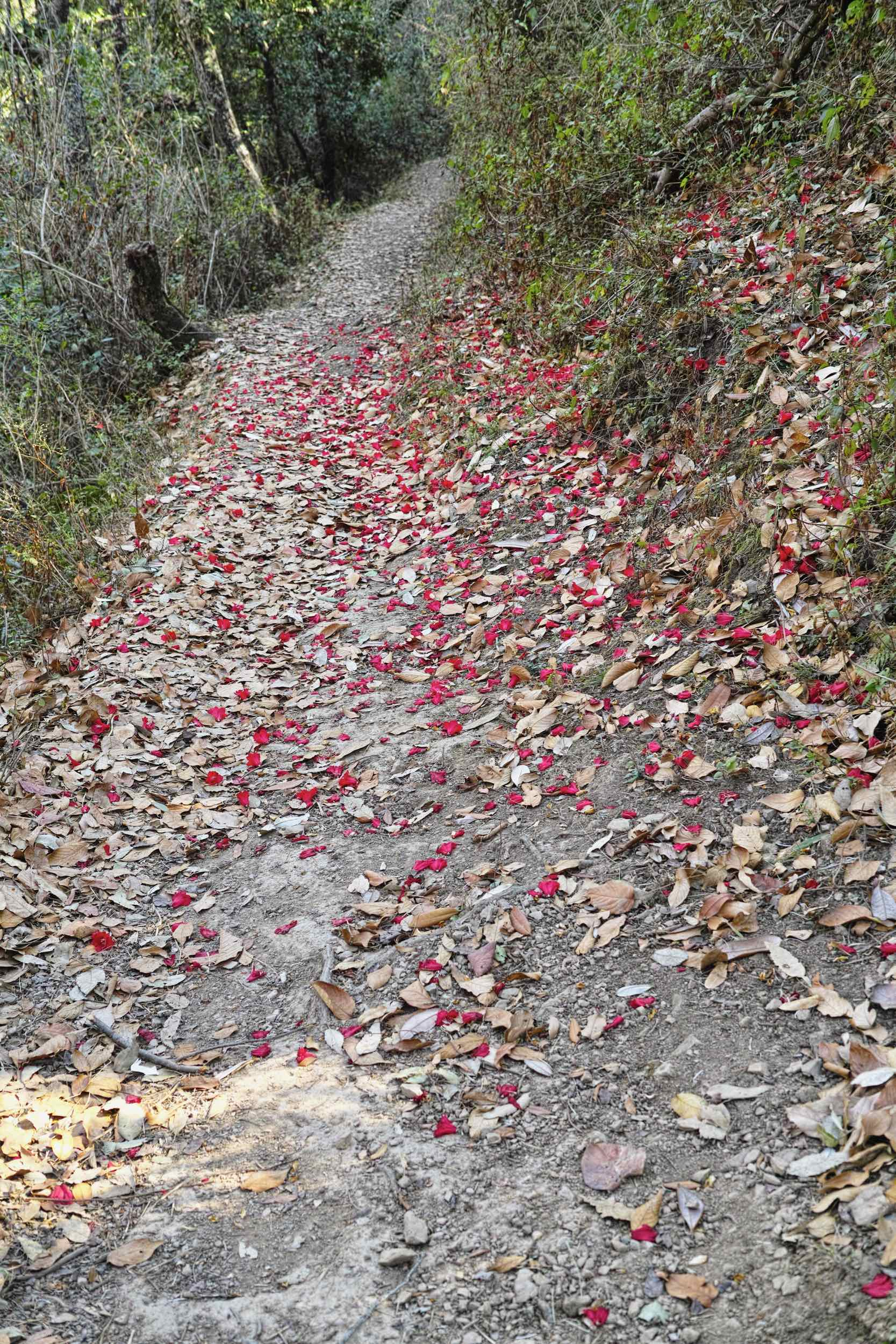 Buransh flowers fall in a red carpet along the trail