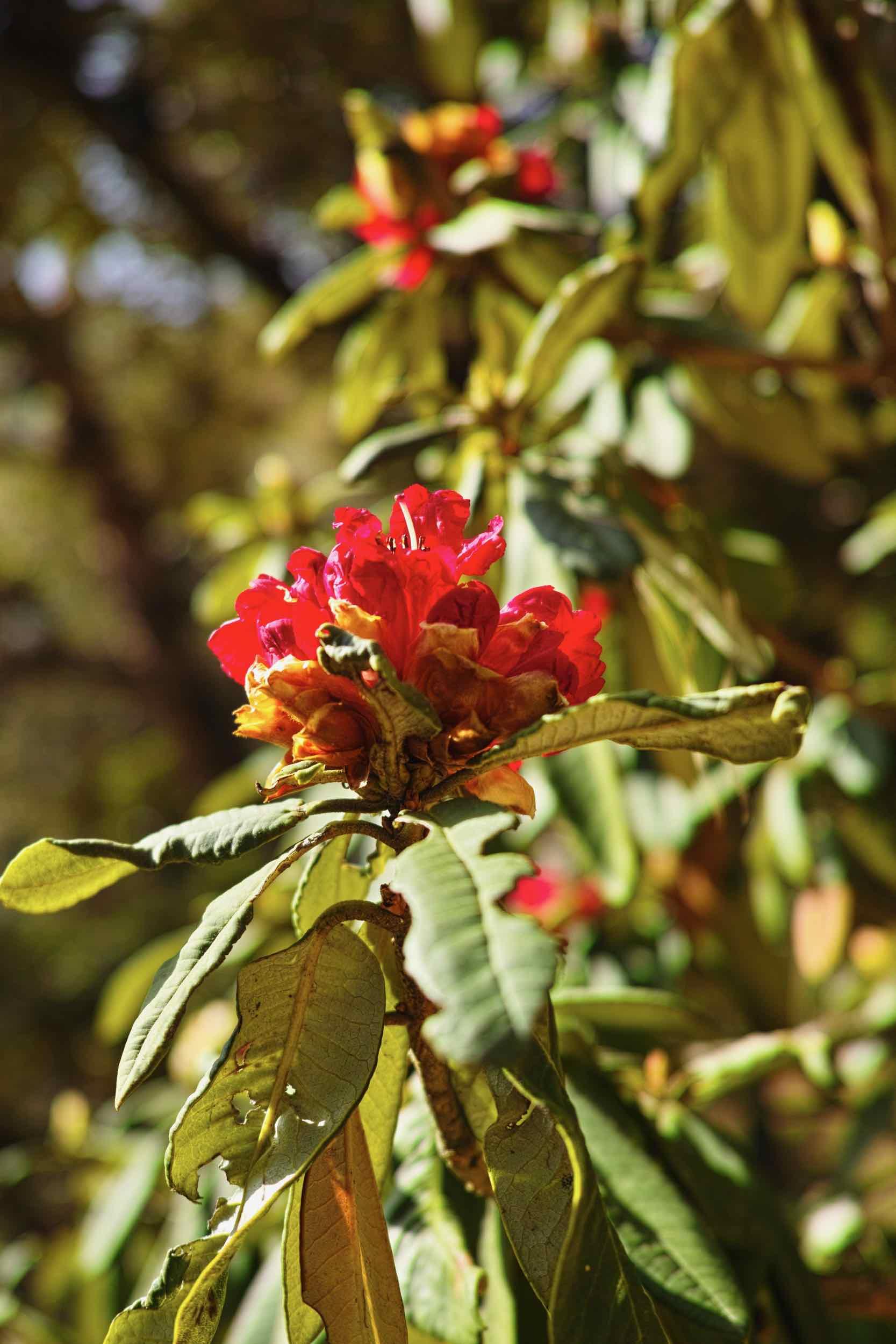 Buransh Flower