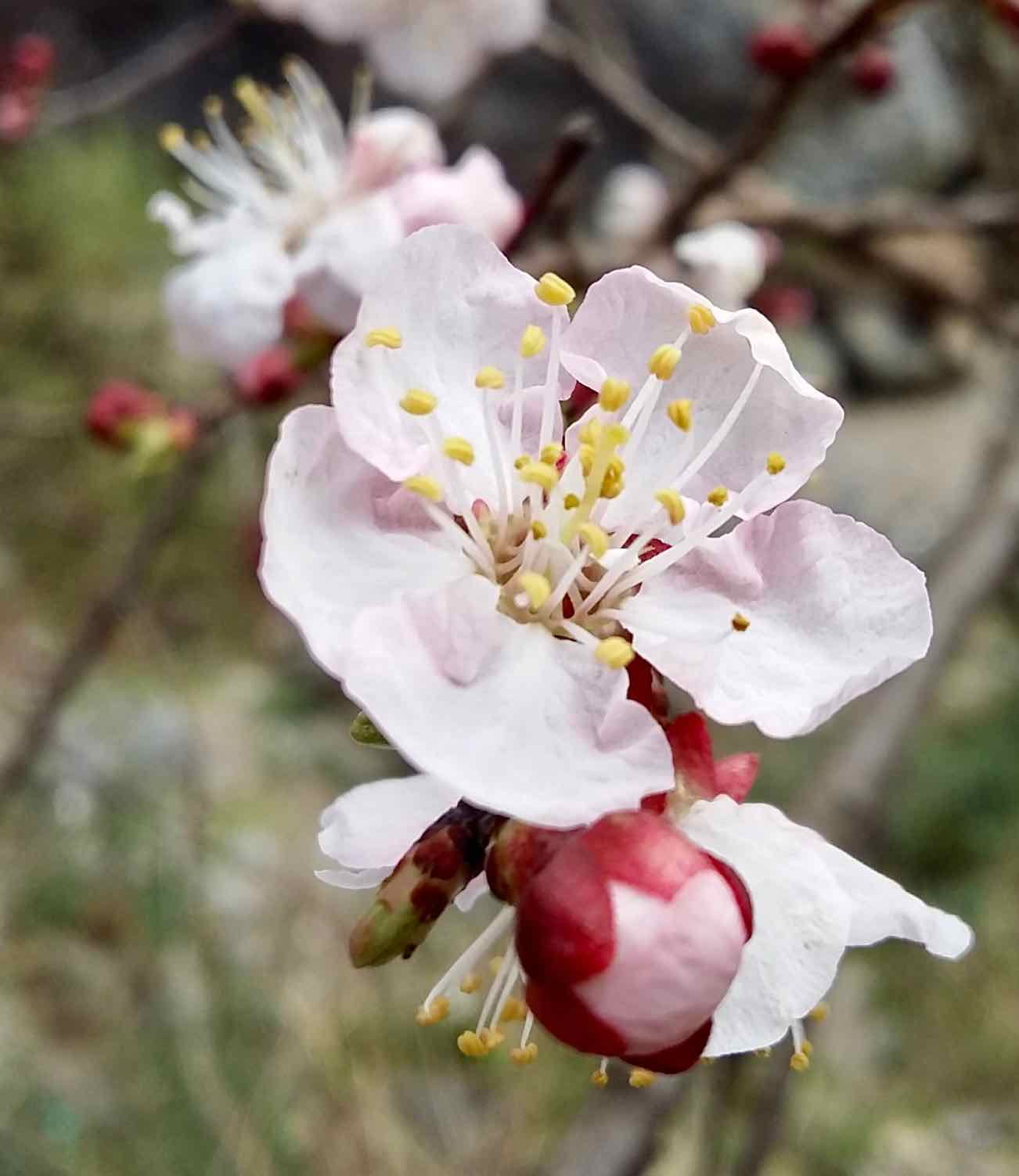 Apricot flower in bloom in mid-March. Definitely worth stopping for