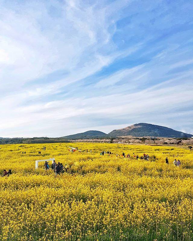 Fields of Gold #jejuisland #spring #🇰🇷 📸#samsungs8plus #samsungsg