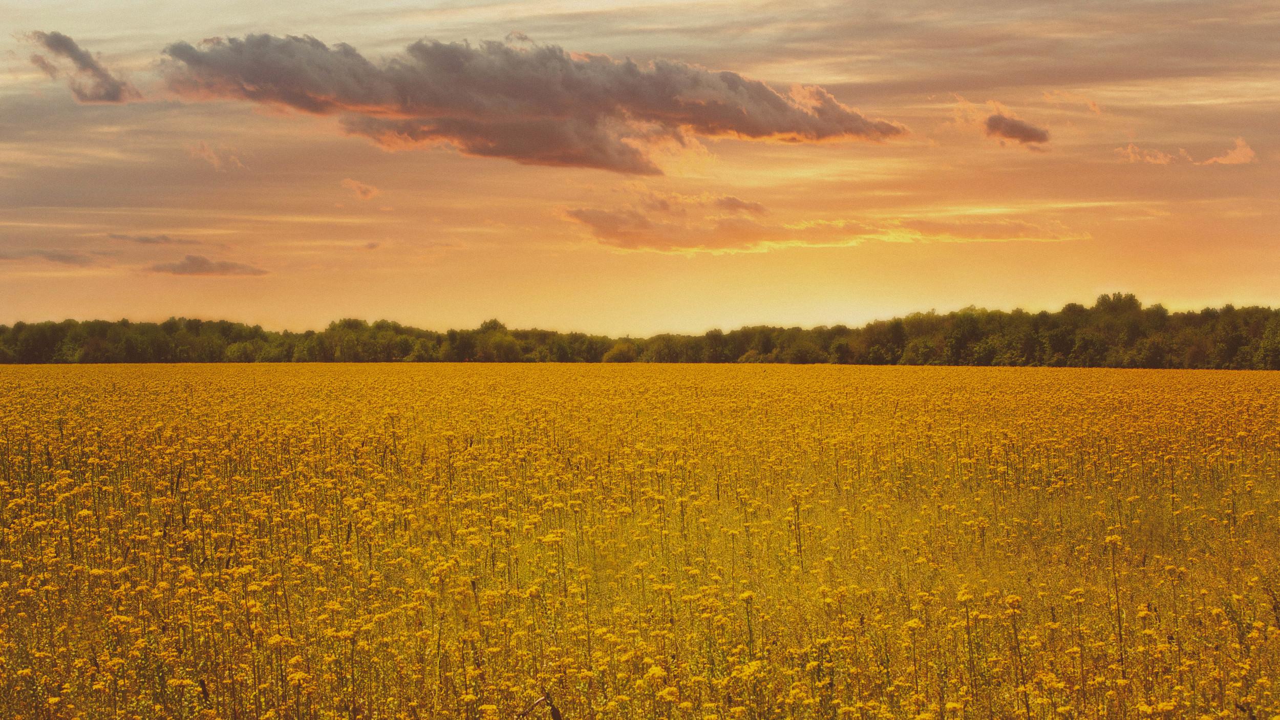 Fields_of_Gold.jpg